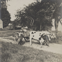 Photograph of Henry Arms Stearns and Oxen