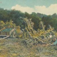 Postcard of Corn Field